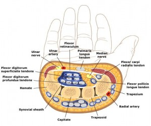 Cross_section_of_wrist-polso-mediano-tunnel-carpo